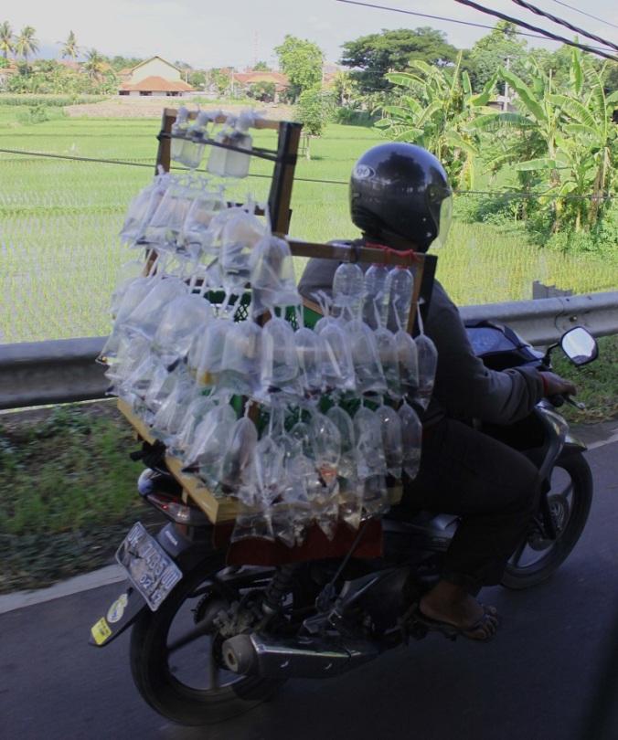 """Der Verkehr in Bali wird von den """"Töffli"""" bestimmt. Darauf kann man locker eine Familie plus Familienhund transportieren, oder - wie hier - Fische!"""